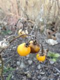 Planta de Carolinense de la solanácea con la fruta en la caída imagenes de archivo
