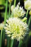Planta de cebola bonita Imagem de Stock Royalty Free