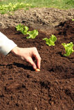 Planta de cebola no solo fresco foto de stock royalty free