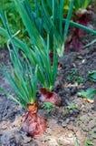 Planta de cebola verde no jardim foto de stock
