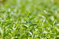 Planta de chá Fotos de Stock