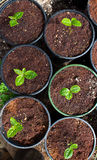 Planta de chá verde Potted Foto de Stock