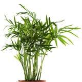Planta de Chamaedorea Imagens de Stock