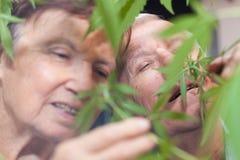 Planta de cheiro do cannabis dos pares superiores felizes Imagens de Stock