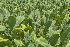 Planta de cigarro Imagem de Stock