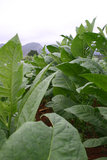 Planta de cigarro Cuba fotografia de stock