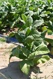 Planta de cigarro em um campo & em um x28; Nicotiana& x29; Fotos de Stock