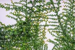 Planta de Cleeping na parede branca Imagem de Stock Royalty Free