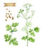 Planta de coentro com as flores, as folhas e as sementes isoladas na ilustração branca da aquarela Fotografia de Stock