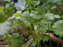 Planta de coriandro Foto de archivo