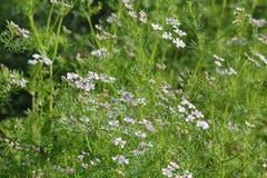 Planta de coriandro con su flor Imagen de archivo