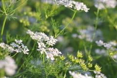 Planta de coriandro con su flor Foto de archivo