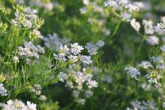 Planta de coriandro con su flor Foto de archivo libre de regalías