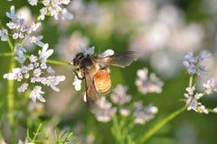 Planta de coriandro con su flor con la abeja de Hunny Foto de archivo