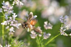 Planta de coriandro con su flor con la abeja de Hunny Imagen de archivo libre de regalías