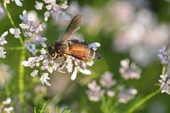 Planta de coriandro con su flor con la abeja de Hunny Fotografía de archivo
