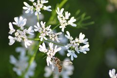 Planta de coriandro con su flor con la abeja de Hunny Imagenes de archivo