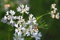 Planta de coriandro con su flor con la abeja de Hunny Imagen de archivo