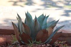 Planta de Costa Rica Tequila Fotografia de Stock