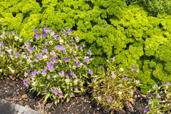 Planta de Curley Parsley e da flor da viola fotos de stock royalty free