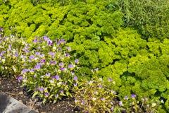 Planta de Curley Parsley e da flor da viola imagem de stock