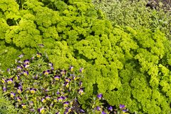 Planta de Curley Parsley e da flor da viola foto de stock