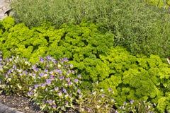 Planta de Curley Parsley e da flor da viola fotografia de stock royalty free