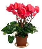 Planta de Cyclamen Fotografía de archivo libre de regalías