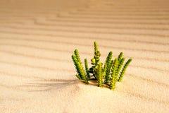 Planta de deserto Imagem de Stock