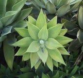 Planta de deserto em Califórnia Foto de Stock Royalty Free