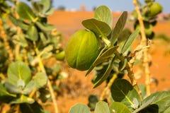 Planta de desierto Sodom Apple, Marruecos Fotos de archivo libres de regalías