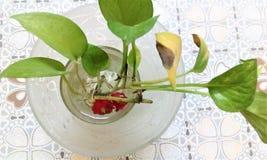 Planta de dinheiro em um vidro Foto de Stock Royalty Free