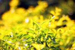 Planta de Doronda Fotografía de archivo