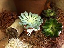 Planta de Echeveria, glauca de Echeveria Fim suculento da planta acima em cores claras Jardinagem das plantas Cores mornas Interi imagem de stock