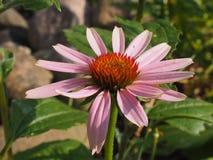 Planta de Echinaccea foto de stock royalty free
