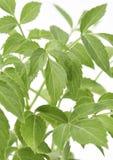 Planta de Epazote Fotos de archivo