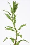 Planta de Epazote Foto de Stock Royalty Free