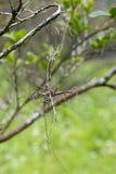 Planta de Epiphyte (formosanum de Thrixspermum) Fotografia de Stock