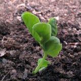 Planta de ervilha Fotografia de Stock