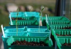 Planta de ervilha doce pequena Imagens de Stock