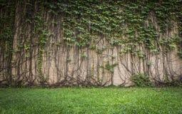 Planta de escalada da parede Foto de Stock