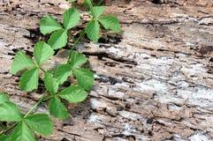 Planta de escalada na casca secada da árvore velha Foto de Stock