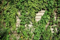 planta de escalada na parede de madeira velha Fotos de Stock Royalty Free