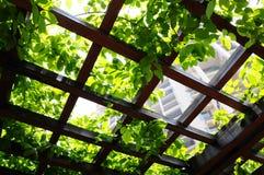 planta de escalada no pergola Fotos de Stock