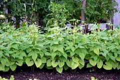 Planta de feijão Fotografia de Stock