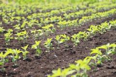 Planta de feijão de soja no verão Imagens de Stock Royalty Free