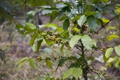 Planta de feijão do café Fotos de Stock