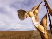 Planta de feijão de soja imagens de stock royalty free