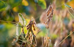 Planta de feijão de soja no dia ensolarado Fotografia de Stock Royalty Free