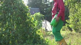 Planta de feijão verde masculina do pulverizador do fazendeiro no por do sol do jardim do país 4K vídeos de arquivo